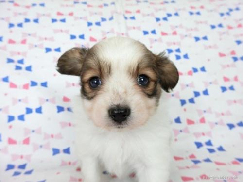 パピヨンの子犬(ID:1244711691)の3枚目の写真/更新日:2021-04-19