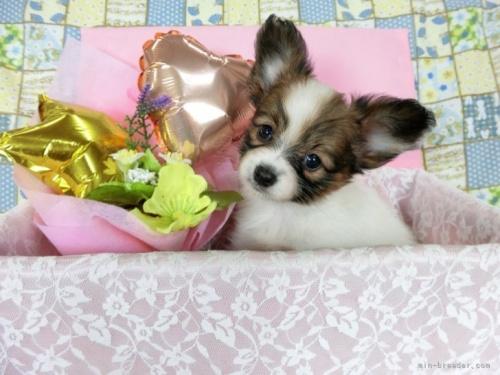 パピヨンの子犬(ID:1244711692)の2枚目の写真/更新日:2018-07-02