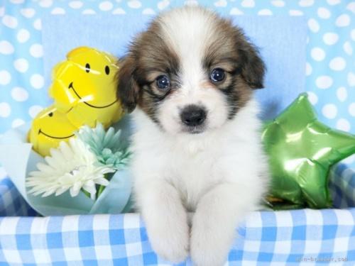 パピヨンの子犬(ID:1244711693)の2枚目の写真/更新日:2018-07-26