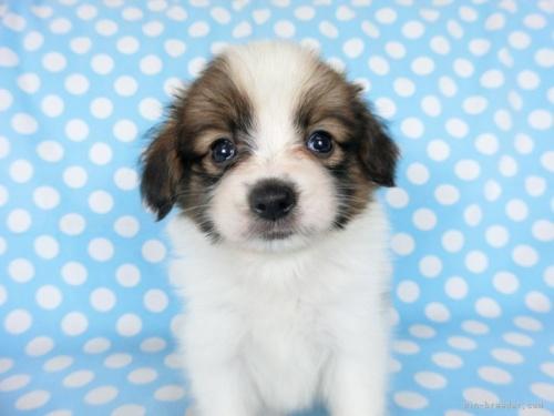 パピヨンの子犬(ID:1244711693)の3枚目の写真/更新日:2018-07-26
