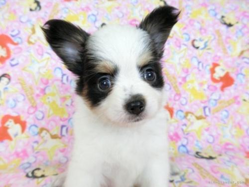 パピヨンの子犬(ID:1244711694)の3枚目の写真/更新日:2018-07-23