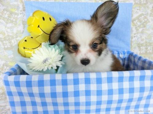 パピヨンの子犬(ID:1244711695)の2枚目の写真/更新日:2021-04-19