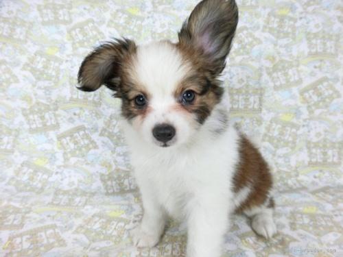パピヨンの子犬(ID:1244711695)の3枚目の写真/更新日:2018-04-23