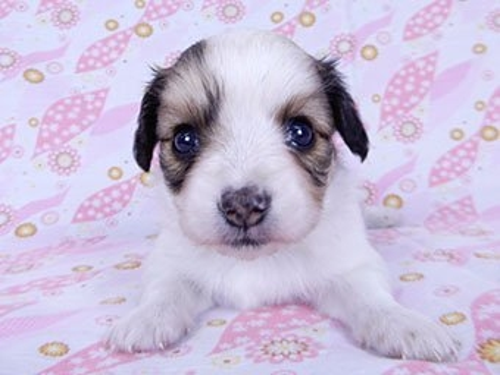 パピヨンの子犬(ID:1244711696)の2枚目の写真/更新日:2018-07-23