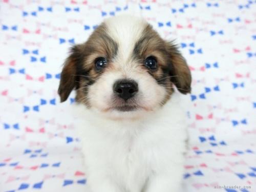 パピヨンの子犬(ID:1244711696)の3枚目の写真/更新日:2018-07-23