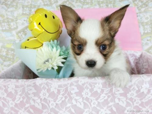パピヨンの子犬(ID:1244711697)の2枚目の写真/更新日:2021-04-28