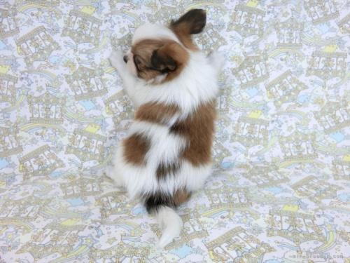 パピヨンの子犬(ID:1244711697)の3枚目の写真/更新日:2021-04-28