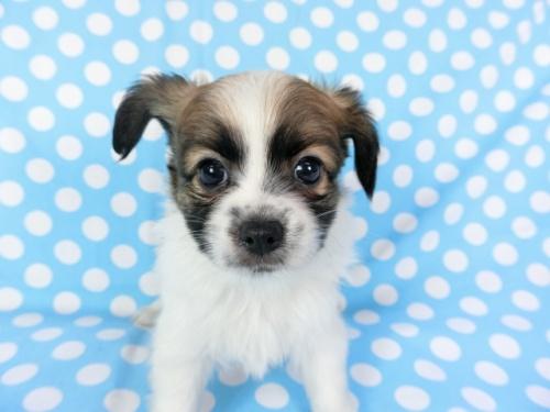 パピヨンの子犬(ID:1244711698)の2枚目の写真/更新日:2018-07-23