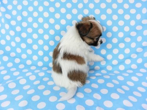 パピヨンの子犬(ID:1244711698)の3枚目の写真/更新日:2018-07-23