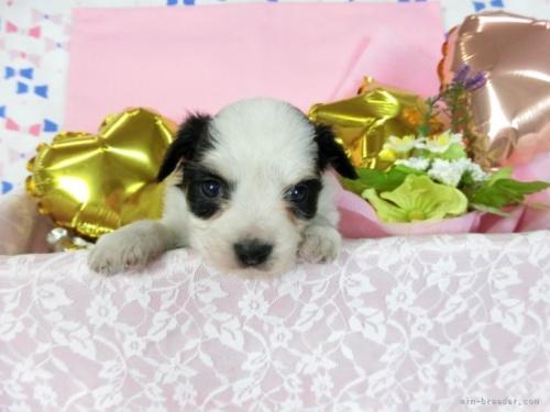 パピヨンの子犬(ID:1244711699)の2枚目の写真/更新日:2018-08-06