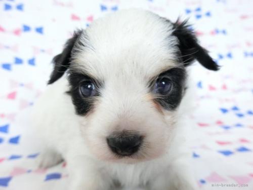 パピヨンの子犬(ID:1244711699)の3枚目の写真/更新日:2021-03-18