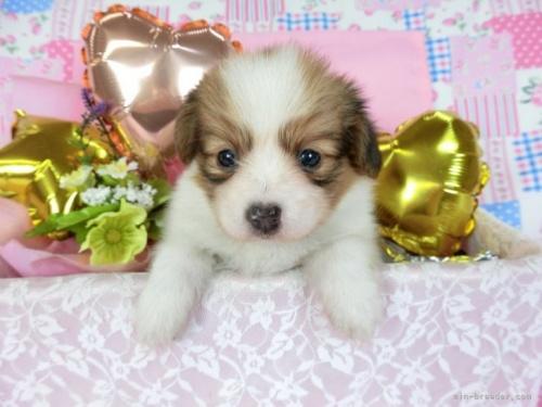パピヨンの子犬(ID:1244711700)の2枚目の写真/更新日:2021-04-28