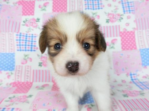 パピヨンの子犬(ID:1244711700)の3枚目の写真/更新日:2021-04-28
