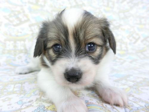 パピヨンの子犬(ID:1244711701)の1枚目の写真/更新日:2019-04-15
