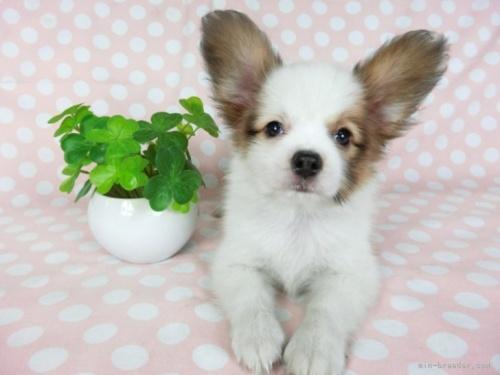 パピヨンの子犬(ID:1244711702)の2枚目の写真/更新日:2019-01-14