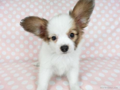 パピヨンの子犬(ID:1244711702)の3枚目の写真/更新日:2019-10-13
