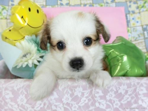 パピヨンの子犬(ID:1244711703)の2枚目の写真/更新日:2019-04-15