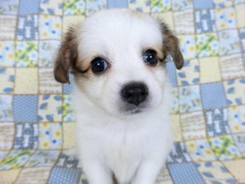パピヨンの子犬(ID:1244711703)の3枚目の写真/更新日:2020-09-19