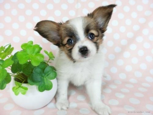 パピヨンの子犬(ID:1244711704)の2枚目の写真/更新日:2019-12-09