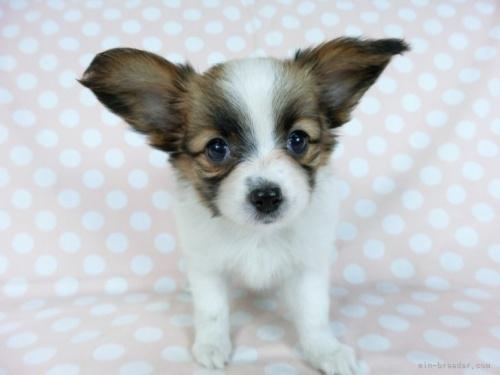 パピヨンの子犬(ID:1244711704)の3枚目の写真/更新日:2019-12-09