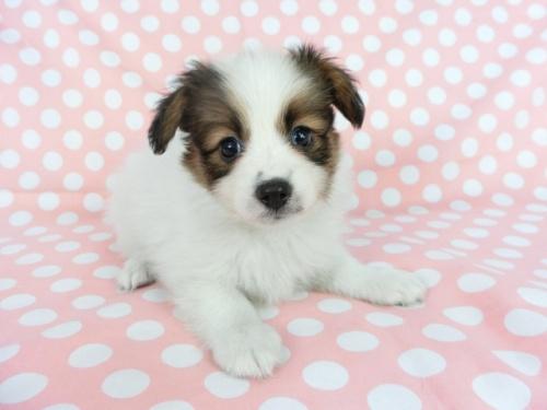 パピヨンの子犬(ID:1244711705)の1枚目の写真/更新日:2018-04-23