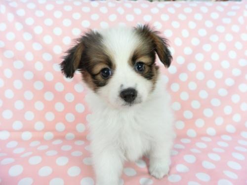 パピヨンの子犬(ID:1244711705)の2枚目の写真/更新日:2018-04-23