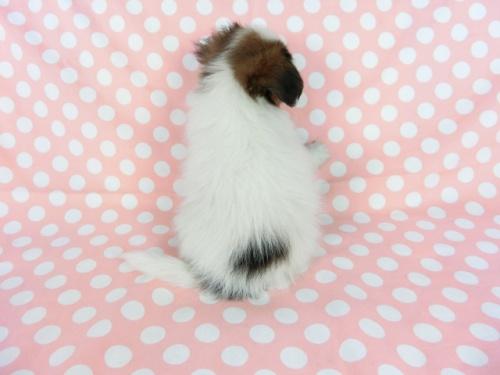 パピヨンの子犬(ID:1244711705)の3枚目の写真/更新日:2018-04-23