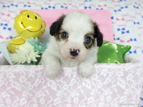 パピヨンの子犬(ID:1244711706)の2枚目の写真/更新日:2021-04-19