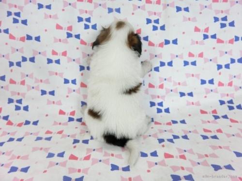 パピヨンの子犬(ID:1244711706)の3枚目の写真/更新日:2018-04-23