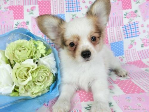 パピヨンの子犬(ID:1244711707)の2枚目の写真/更新日:2018-08-09