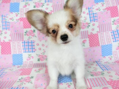 パピヨンの子犬(ID:1244711707)の3枚目の写真/更新日:2018-04-09