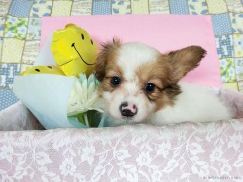 パピヨンの子犬(ID:1244711708)の2枚目の写真/更新日:2019-12-09