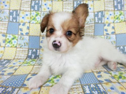 パピヨンの子犬(ID:1244711708)の3枚目の写真/更新日:2018-04-23