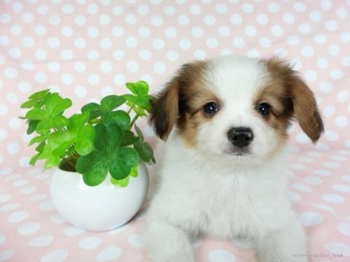 パピヨンの子犬(ID:1244711709)の2枚目の写真/更新日:2018-04-09