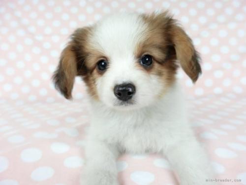 パピヨンの子犬(ID:1244711709)の3枚目の写真/更新日:2018-08-09