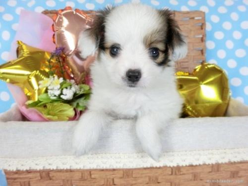 パピヨンの子犬(ID:1244711710)の2枚目の写真/更新日:2018-04-23