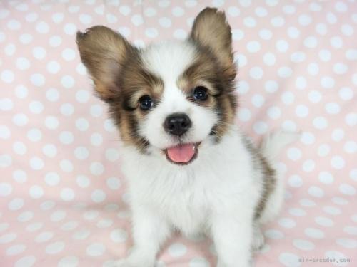 パピヨンの子犬(ID:1244711711)の2枚目の写真/更新日:2021-04-19