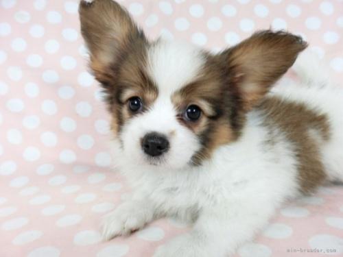 パピヨンの子犬(ID:1244711711)の3枚目の写真/更新日:2021-04-19