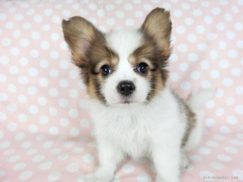 パピヨンの子犬(ID:1244711711)の4枚目の写真/更新日:2021-04-19