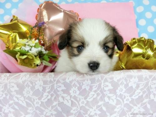 パピヨンの子犬(ID:1244711712)の2枚目の写真/更新日:2018-05-10