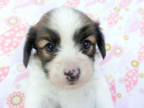 パピヨンの子犬(ID:1244711713)の1枚目の写真/更新日:2018-04-23