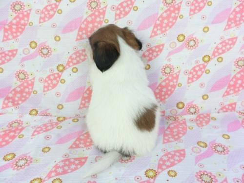 パピヨンの子犬(ID:1244711713)の2枚目の写真/更新日:2018-04-23