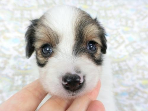 パピヨンの子犬(ID:1244711714)の1枚目の写真/更新日:2018-05-01