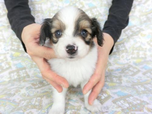 パピヨンの子犬(ID:1244711714)の2枚目の写真/更新日:2019-03-28
