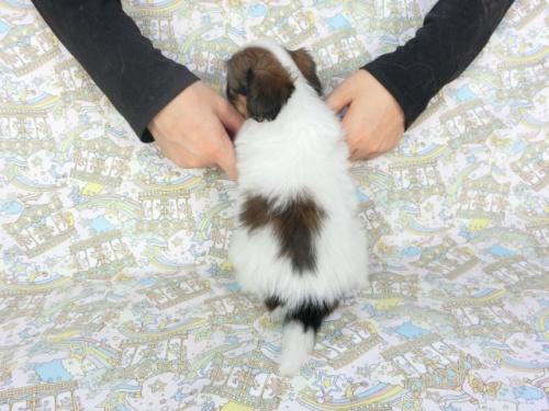 パピヨンの子犬(ID:1244711714)の3枚目の写真/更新日:2019-03-28