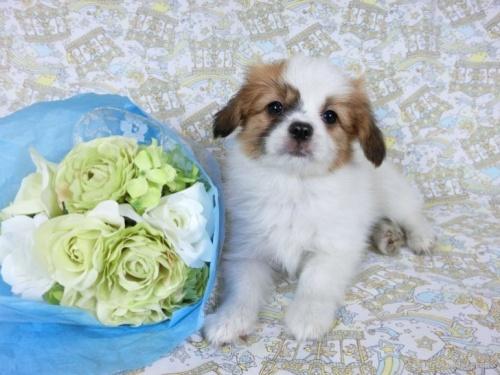 パピヨンの子犬(ID:1244711715)の2枚目の写真/更新日:2018-12-10
