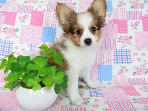 パピヨンの子犬(ID:1244711716)の2枚目の写真/更新日:2018-05-10