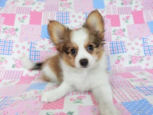 パピヨンの子犬(ID:1244711716)の3枚目の写真/更新日:2021-04-19