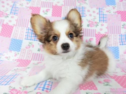 パピヨンの子犬(ID:1244711716)の4枚目の写真/更新日:2021-04-19