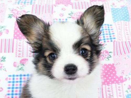 パピヨンの子犬(ID:1244711717)の2枚目の写真/更新日:2018-05-01